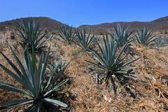 Maguey rośliien pole produkować mezcal, Meksyk Obraz Royalty Free