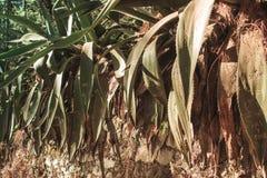 Maguey växter i skogen royaltyfri fotografi