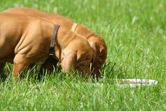 Magyaars Puppy Vizsla Stock Foto