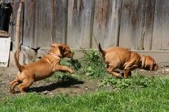 Magyaars Puppy Vizsla Royalty-vrije Stock Afbeeldingen