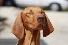Magyaarse Hond Vizsla Stock Afbeeldingen