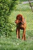 Magyaarse Hond Vizsla Stock Foto