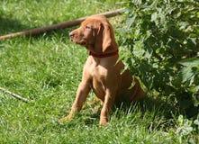 Magyaarse Puppy Vizsla Stock Foto