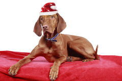 Magyar viszla dog with christmas hat on red blanket. Magyar viszla dog with christmas hat lying on red blanket Royalty Free Stock Photography