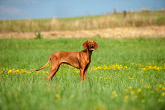 Magyar Viszla. In a meadow Royalty Free Stock Image