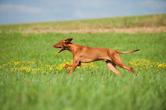 Magyar Viszla. In a meadow Stock Image