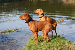 Magyar Vizsla. Dogs at work Royalty Free Stock Images