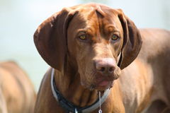 Magyar Vizsla. Dogs at work Royalty Free Stock Photo