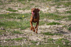 Magyar Vizsla. Dogs at work Stock Photo