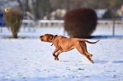 Magyar vizsla chasing a balll Stock Images