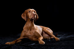 Magyar Vizsla dog. Isolated on black Royalty Free Stock Photo