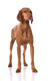 Magyar Vizsla dog. Isolated on white Royalty Free Stock Photos