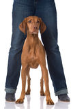 Magyar Vizsla dog. Between legs isolated on white Royalty Free Stock Photos