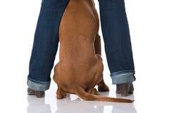 Magyar Vizsla dog between legs. Isolated on white Stock Photo