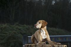 Magyar Vizsla dog. Laid on a tree stump Royalty Free Stock Photos
