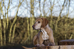 Magyar Vizsla dog. Laid on a tree stump Stock Photography