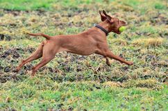Magyar vizsla dog running with a ball Royalty Free Stock Images