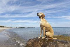 Magyar Vizsla dog sitting at the beach. Magyar Vizsla dog sitting on a stone at the beach Stock Image