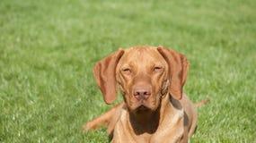 Magyar Vizsla. Hungarian dog standing in grass Stock Images