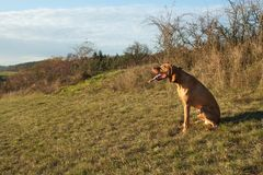 Magyar Vizsla hunting dog Royalty Free Stock Images