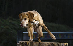 Magyar Vizsla hunting dog. Magyar Vizsla dog ready for hunting Stock Image