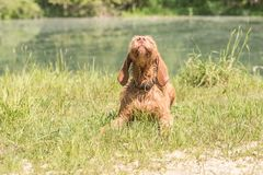 Magyar Vizsla is lying in a green field and is looking upwards funn royalty free stock photo