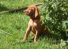 Magyar Vizsla Puppies Stock Photo