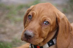Magyar Vizsla Puppy Stock Image