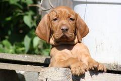 Magyar Vizsla Puppy. In the garden Royalty Free Stock Photography