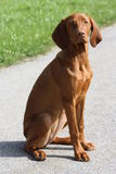 Magyar Vizsla Puppy Royalty Free Stock Photo