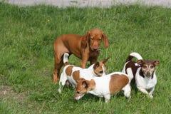 Magyar Vizsla Puppy with Jackies Stock Photo