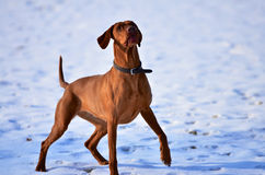 Magyar vizsla waiting in anticipation stock photo