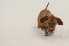 Magyar Vizsla in winter. Picture of Magyar vizsla while snowing Royalty Free Stock Photos