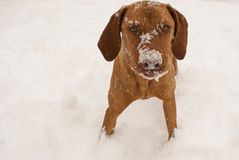 Magyar Vizsla in winter. Portrait of Magyar vizsla while snowing Royalty Free Stock Photos