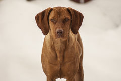 Magyar Vizsla in winter Stock Photo
