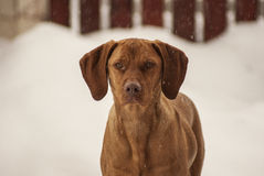 Magyar Vizsla in winter Royalty Free Stock Photo