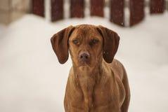 Magyar Vizsla in winter. Portrait of Magyar vizsla while snowing Royalty Free Stock Photo