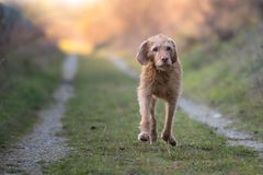 Fast running old Vizsla on a path at sunset stock images