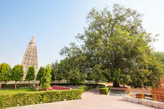 Mahabodhi Temple, Bodhgaya. The Bodhi Tree is a large and very old sacred fig tree located in Bodh Gaya, India, under which Siddhartha Gautama Buddha is said to Stock Photos
