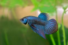 Siamese Fighting Fish with green background. Mahachai betta or Betta mahachaiensis, beautiful Siamese Fighting Fish with green background in Thailand Royalty Free Stock Images