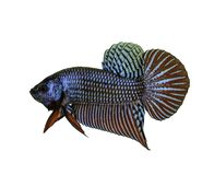 Mahachai betta lub Betta mahachaiensis, piękna Syjamska bój ryba odizolowywająca fotografia stock