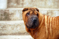 Mahagony  sharpei portrait Stock Images