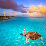 Mahahual Caribbean beach turtle photomount. In Costa Maya of Mexico Royalty Free Stock Photography