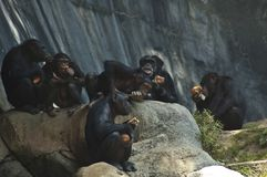 Group of Mahale Mountain Chimpanzees at LA Zoo chimps hang out on a rock and eat. Mahale Mountains Chimpanzees at LA Zoo Mahale Mountains National Park was royalty free stock image