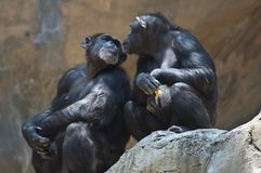 Two Mahale Mountain Chimpanzees at LA Zoo look at each other one chimp has an open wound on arm. Mahale Mountains Chipanzee at LA Zoo Mahale Mountains National stock image