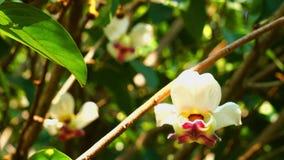 Mahaprom rachini flower or Mitrephora sirikitiae hang on the trees