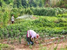 MAHASARAKHAM THAILAND-APRIL 28: rolniczy styl życia, vegetabl Fotografia Royalty Free