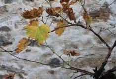 Mahatsondo, Vitis - vinifera Στοκ εικόνα με δικαίωμα ελεύθερης χρήσης