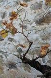 Mahatsondo, Vitis - vinifera Στοκ φωτογραφίες με δικαίωμα ελεύθερης χρήσης