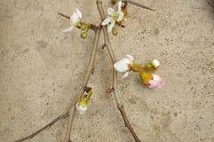 Mahaw u. x28; Ost kann Hawthorn& x29; Baumaste in der Blüte Stockfotos